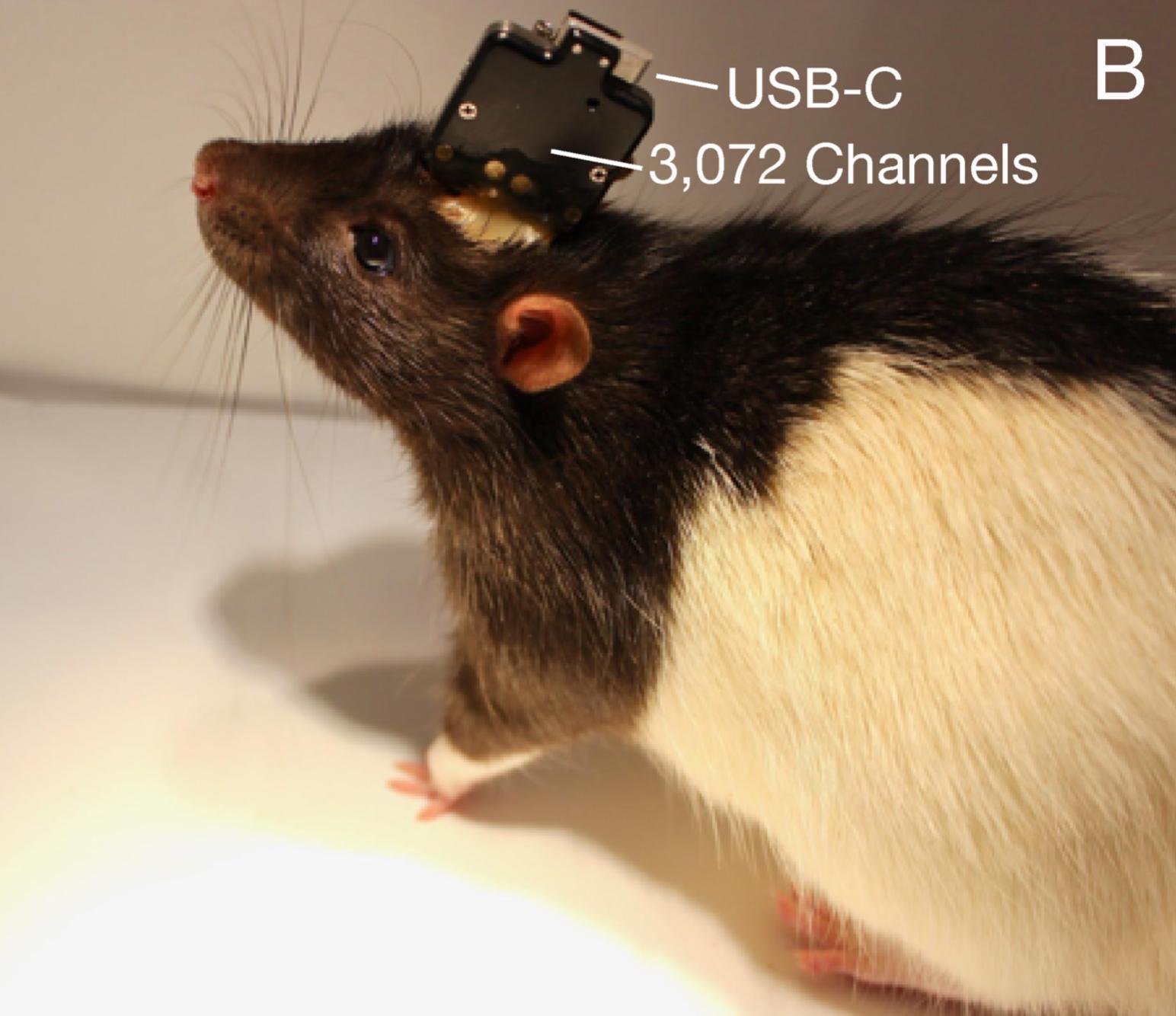 Крыса сразъёмом USB-C наголове
