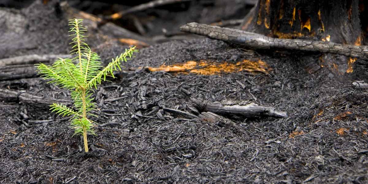Лесной подрост после пожаров обычно разнообразнее, чем до.