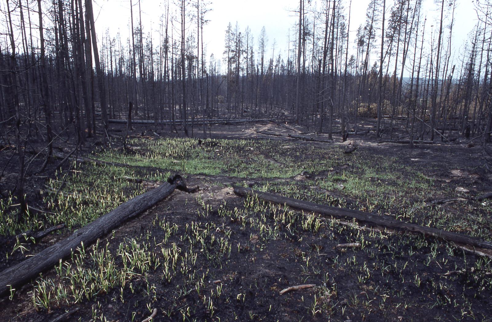 Лесной подрост после пожара.