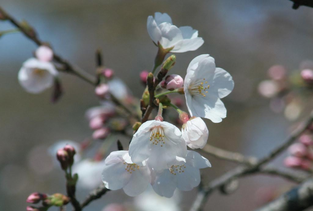Учёные создали умышей искусственное воспоминание озапахе цветущей вишни.