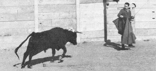 Бык наставляет рога наХосе Мануэля Родригеса Дельгадо. Пульт управления мозговым имплантатом быка находится влевой руке Хосе Мануэля.