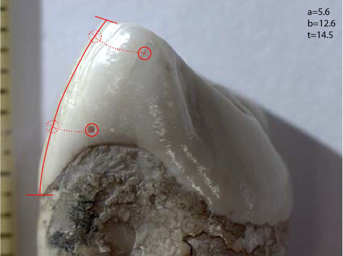 Клык австралопитека, накотором отмечены высверленные отверстия.