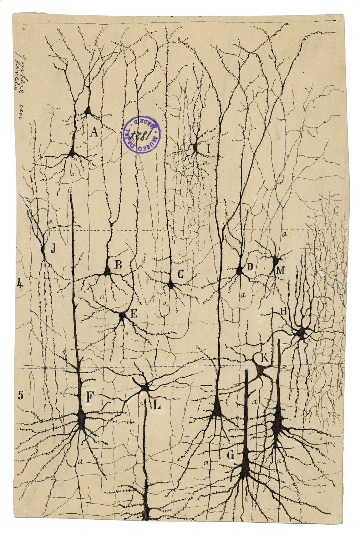 На своих изящных рисунках Кахаль изобразил нейроны как отдельные, неповторимые клетки. Он был первым, кто осознал, что, вопреки тогдашним представлениям, нервная система неявляется сетью непрерывных волокон. / Изображение— Институт Кахаля иИспанский национальный исследовательский совет