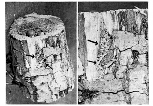 «Запечатанные» запасы желудей красноголового дятла вмёртвом пне ниже уровня грунта