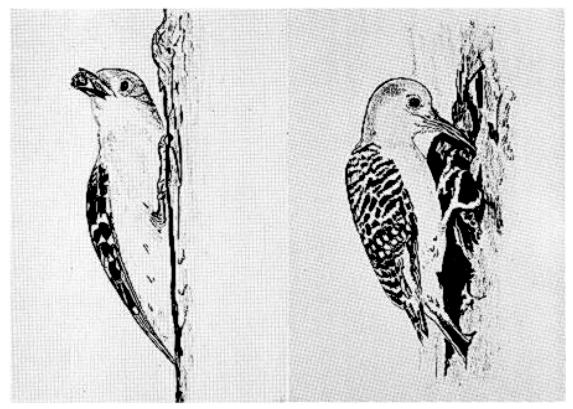Каролинский дятел за прятаньем желудей вдупло. Источник. Kilham, 1963