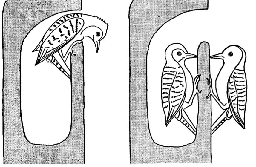 Совместное долбление укаролинского дятла. Источник Kilham, 1958b