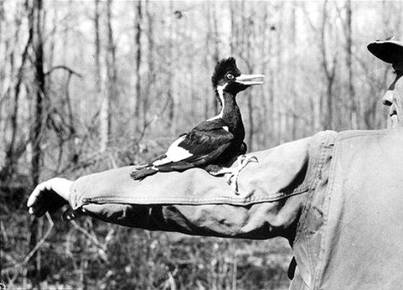 Белоклювый дятел, из последних прижизненных фотографий (Джеймс Таннер, Луизиана, 1938г.), недавно найденных встарых архивах