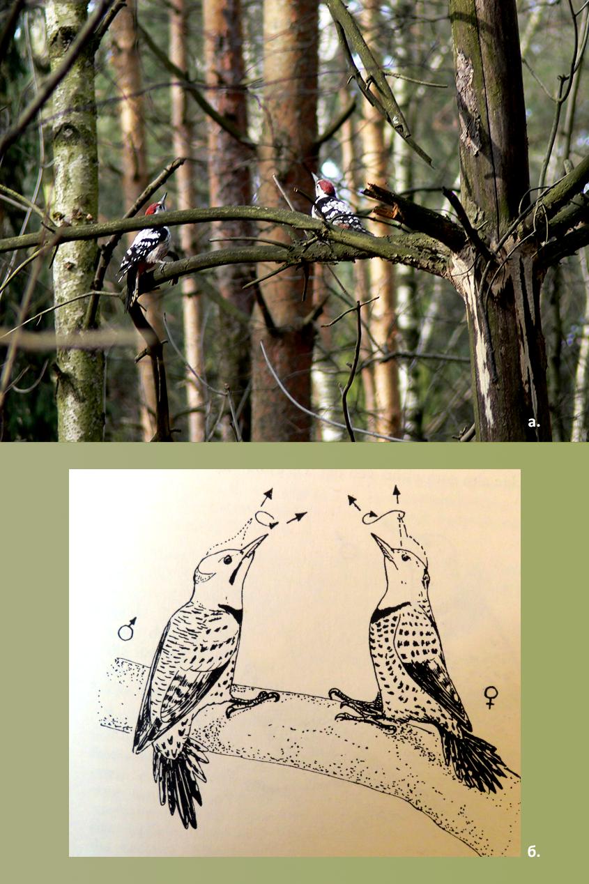 Позы противостояния у(а) белоспинных Dendrocopos leucotos и(б) шилоклювых дятлов Colaptes auratus (рекламирование территории ивстреча потенциальных партнёров). Обратите внимание надемонстрацию «усов»,  продолжающих клюв усамца. Опыты Нобла показывают, что он неизгоняет самку (как гнал бы других самцов) именно из-за отсутствия «усов», демонстрируемого при встречах. Источник Фото В.В. Солодушкина иDe Kiriline Lawrence L. (1967). A Comparative Life-History Study of Four Species of Woodpeckers// Ornithological Monographs. V.5. 156 pp. doi:10.2307/40166747