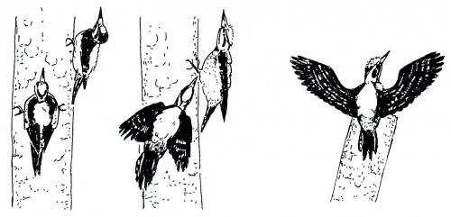Угроза при охране территории усамцов трёхпалого дятла Picoides tridactylus. Из: D. Blume, Jung, Die Buntspecten. NBB. 1997.