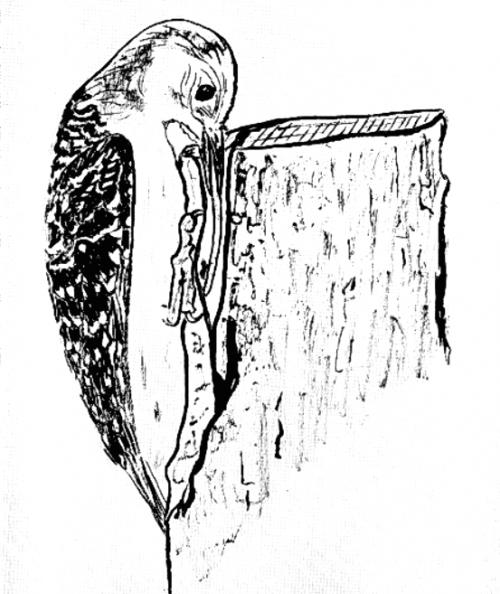 Каролинский дятел Сenturus carolinus языком достаёт кусочек хлеба из вертикальной щели. Источник Kilham, 1963.