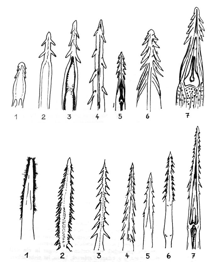 Ороговелые иозубленные кончики языков разных видов дятлов. Верхний ряд— т. н. земляные дятлы, которые больше копают исобирают споверхности, адолбят совсем немного, исходная сними встроении языка желна (7). Нижний ряд— дятел-сосун, укоторого зубцы превращены вщёточку (1), 2—4— во многом растительноядные иделающие запасы виды рр. Melanerpes иCenturus, дальше настоящие долбящие дятлы и7— представитель желн