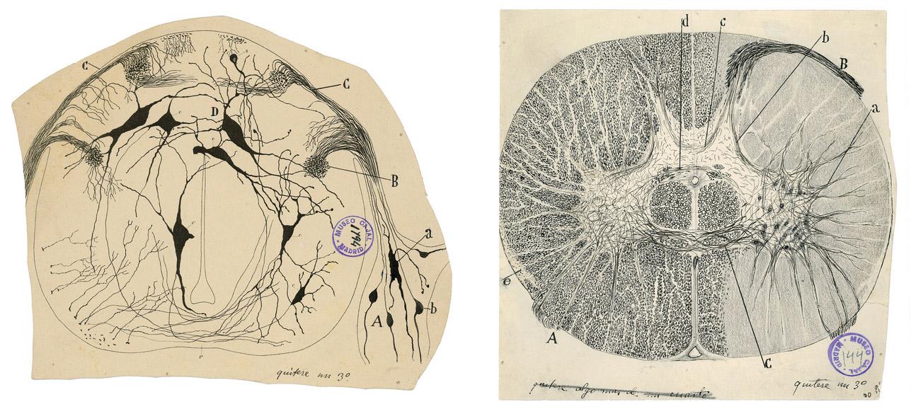 Эти два изящных изображения нейронов спинного мозга выполнены сизысканной детализацией. Кахаль показал нейроны как отдельные, неповторимые клетки. Он был первым, кто осознал, что, вопреки тогдашним представлениям, нервная система неявляется сетью непрерывных волокон. / Изображение— Институт Кахаля иИспанский национальный исследовательский совет