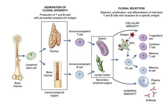 Схема развития иактивации иммунных клеток. Предшественники лимфоцитов мигрируют из костного мозга втимус, где дают начало T-клеткам, или остаются вкостном мозге, давая начало B-клеткам. После встречи сантигеном (красная звёздочка) дендритная клетка (АРС— antigen presenting cell) представляет фрагменты антигена наивной T-клетке (Th cell), которая даёт начало зрелым популяциям T-клеток истимулирует B-клетки. Из наивных B-клеток получаются плазматические клетки, продуцирующие антитела, иB-клетки памяти