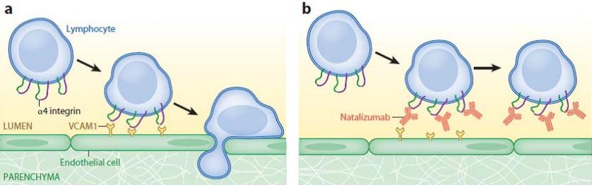 Рис. 5. Механизм действия Tysabri (natalizumab). a. Лимфоцит прикрепляется кстенке кровеносного сосуда благодаря взаимодействию α4-интегрина наповерхности лимфоцита иVCAM1 наповерхности эндотелиальной клетки, проникает через гематоэнцефалический барьер впаренхиму мозга иразрушает миелиновые оболочки нейронов. b. Natalizumab блокирует взаимодействие α4-интегрина иVCAM1, снижая проникновение лимфоцитов вмозг