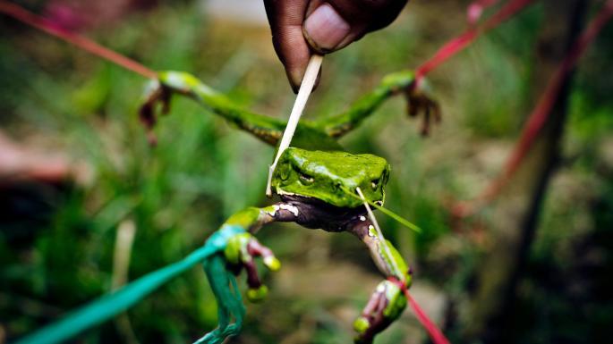 Чтобы заставить лягушку нервничать, ей внос вставили палки.