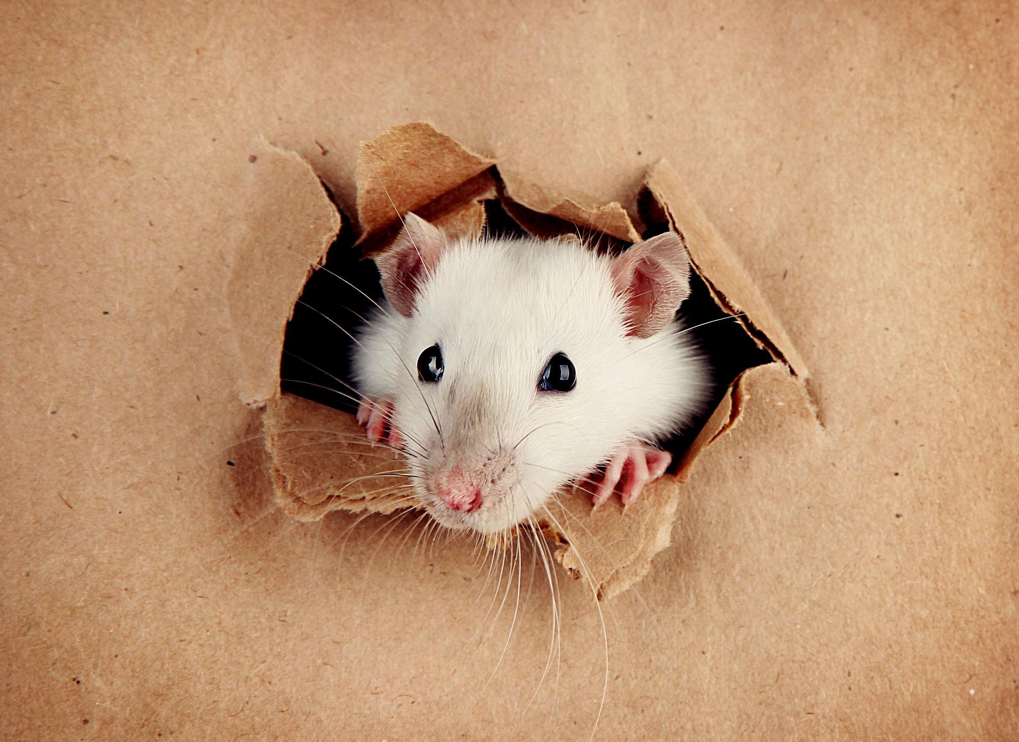 Юбилей для, крысы смешные картинки