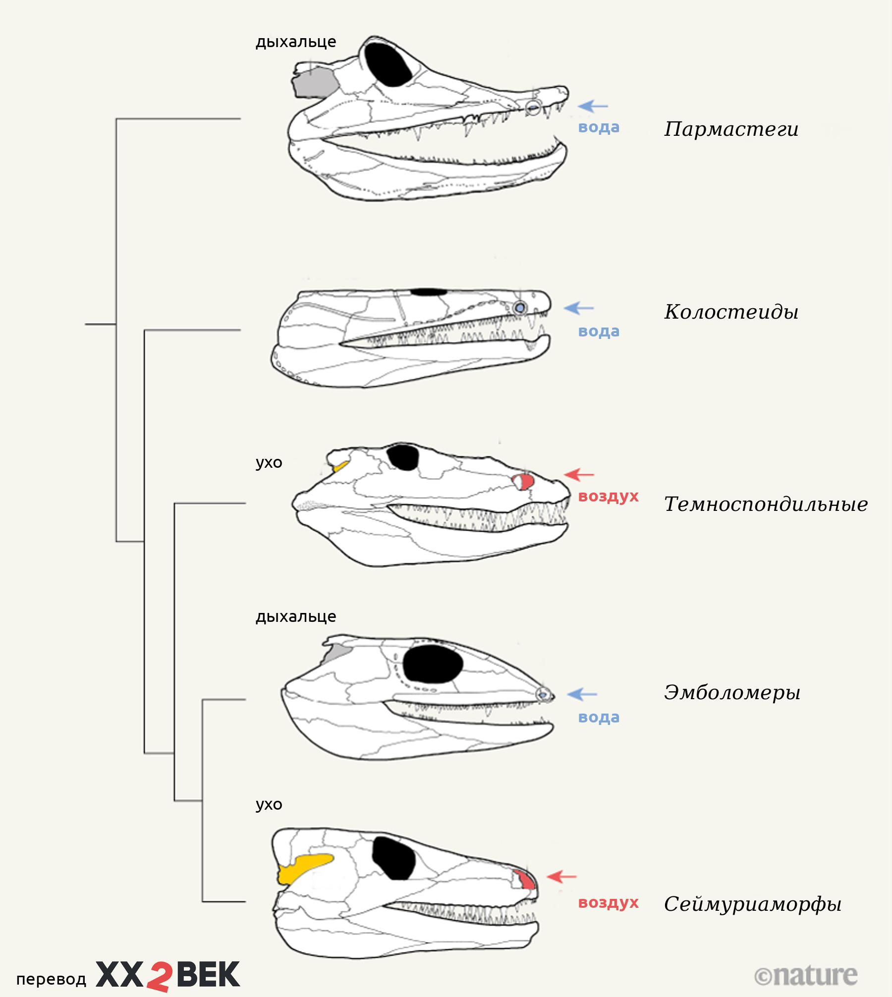 Эволюция черепов ранних тетрапод.