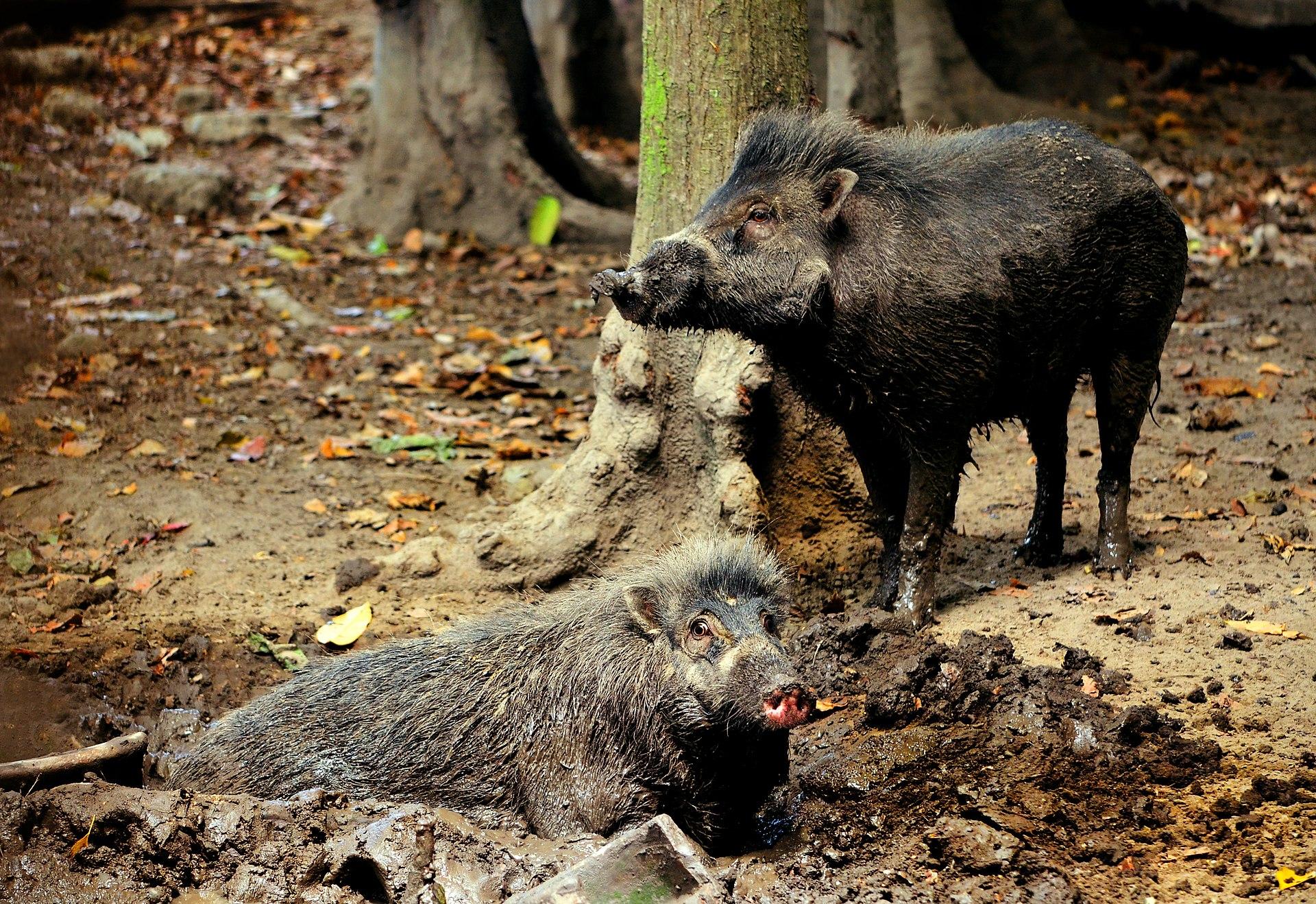 """Висайские бородавчатые свиньи— вид, находящийся под угрозой исчезновения. Фото— <a href=""""https://en.wikipedia.org/wiki/Visayan_warty_pig#/media/File:Visayan_Warty_Pigs_(Sus_cebifrons)_by_Gregg_Yan.jpg"""">Shukran888</a>."""