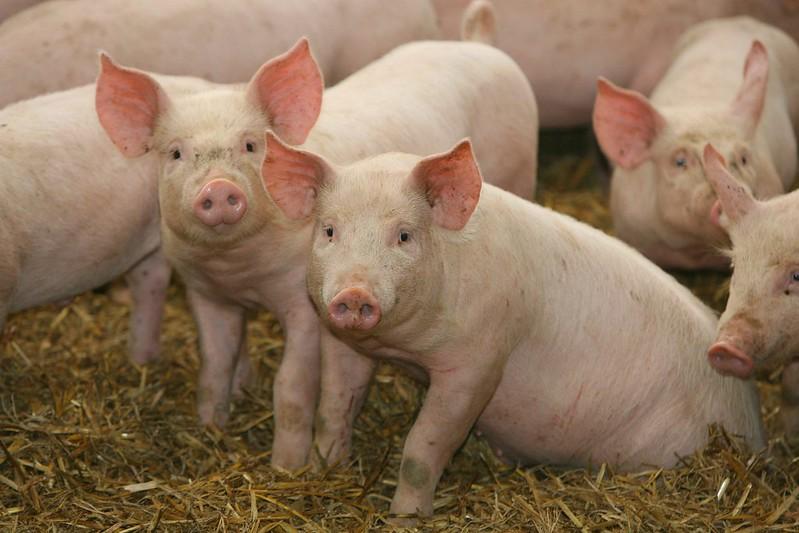 Свиньи могут стать донорами кожи для трансплантации.