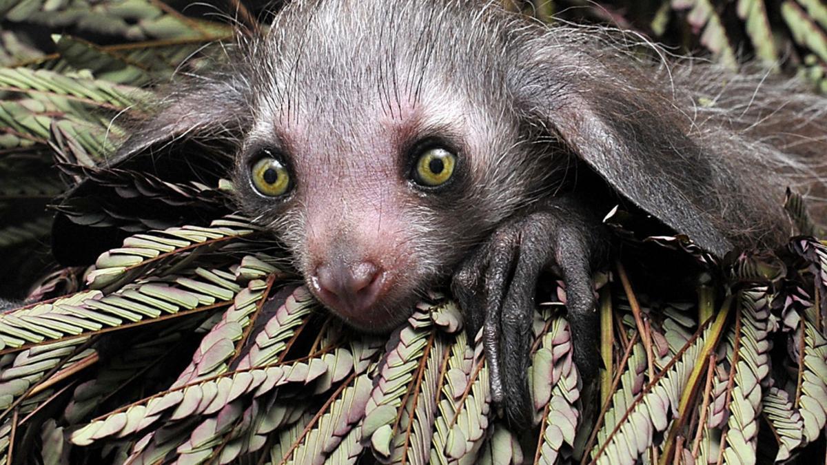 Ай-ай— ночной примат, питающийся личинками.