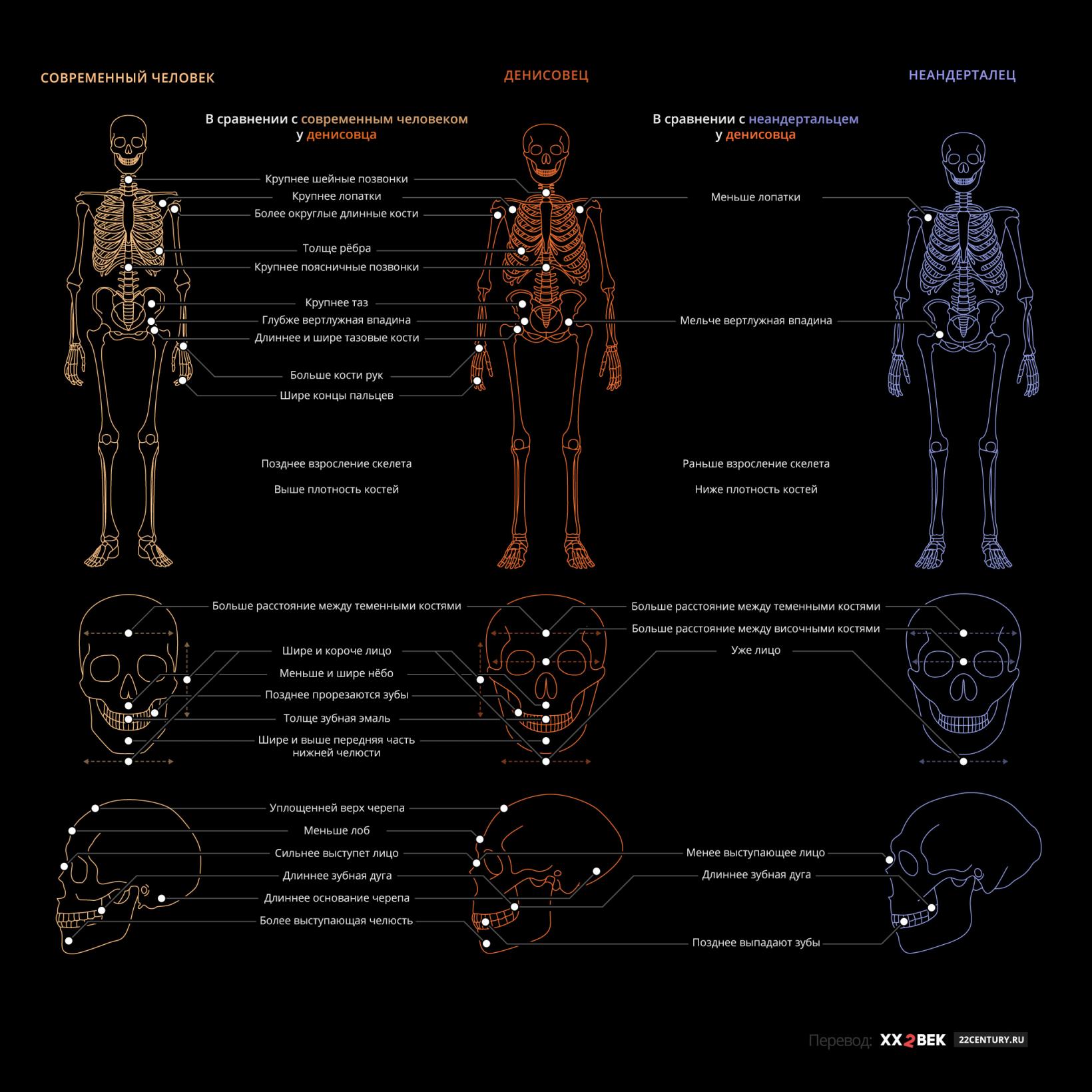 Отличия денисовца от современного человека иот неандертальца