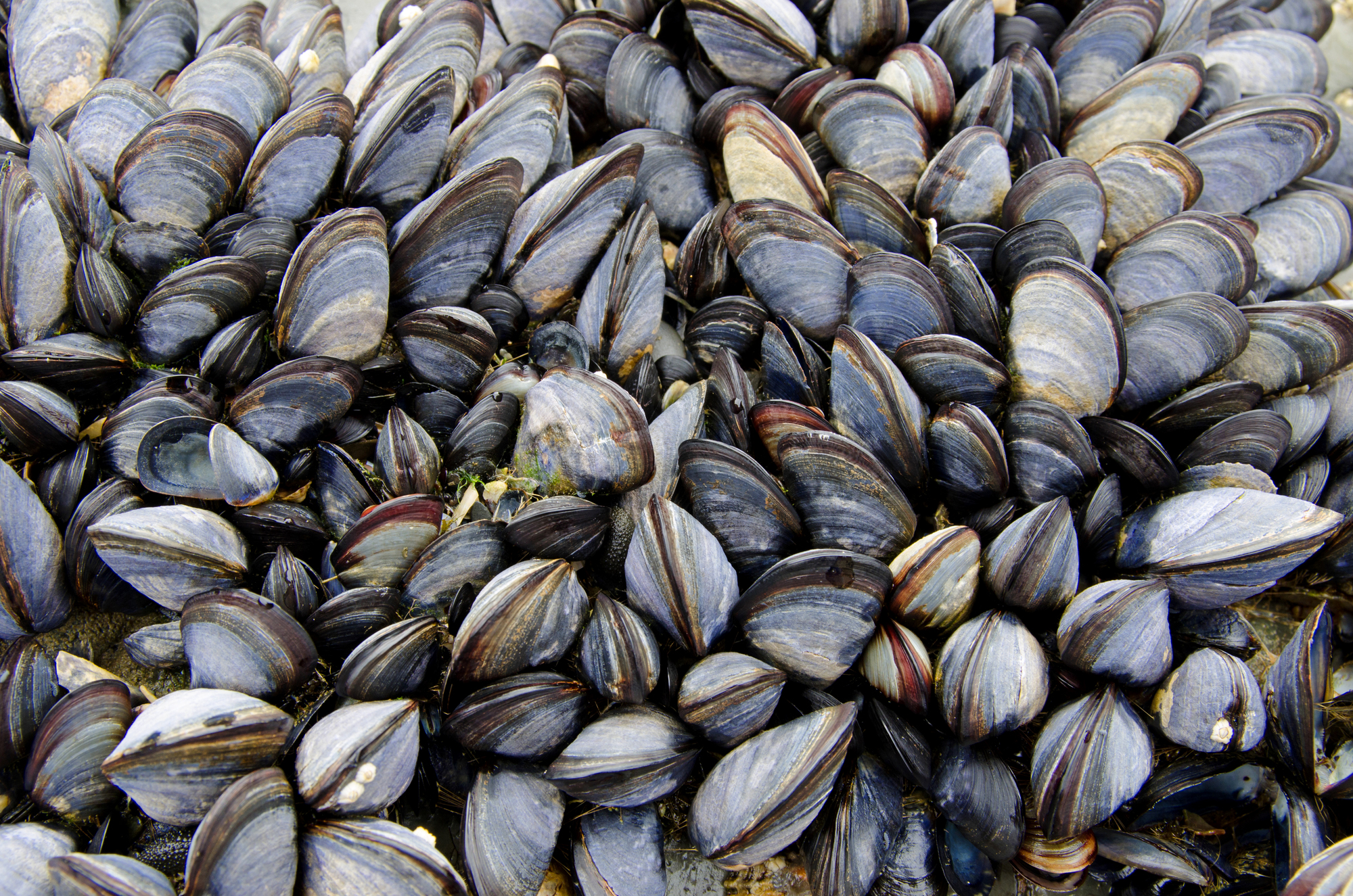 Вряд ли двустворчатые моллюски самостоятельно путешествуют между Южным иСеверным полушариями— им помогает человек.