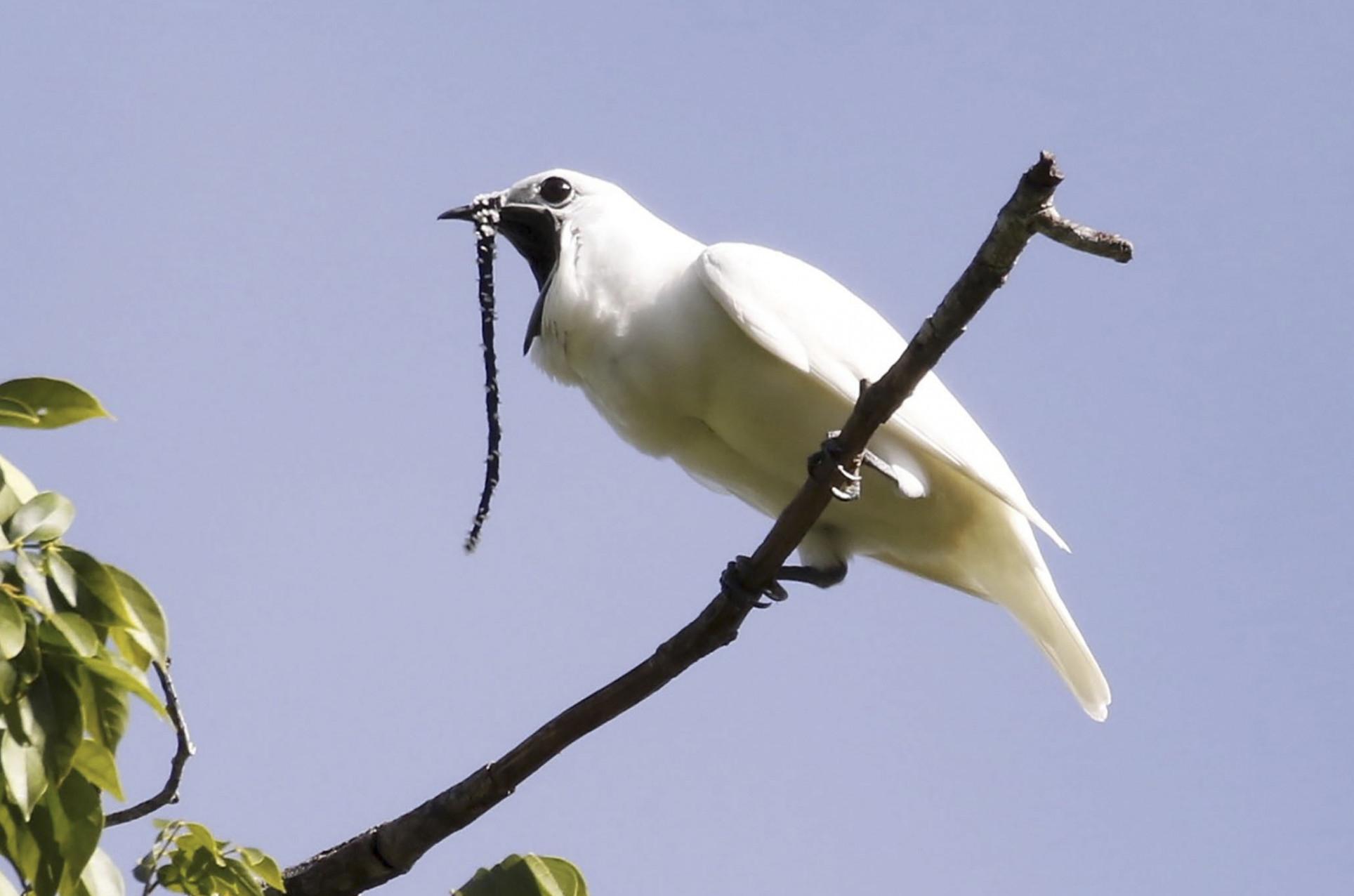 Вид обитает влесах Гайаны, ивменьшем количестве вВенесуэле ибразильском штате Пара. Длина тела самца— приблизительно 28,5 см, самки— 27,5 см. Только самец имеет белую окраску итонкий идлинный мясистый вырост, свисающий склюва.