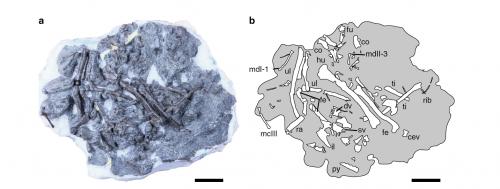 Слева: окаменелость Fukuipteryx prima прима. Справа: изображение костей внутри образца. Источник: T. Imai et al., 2019