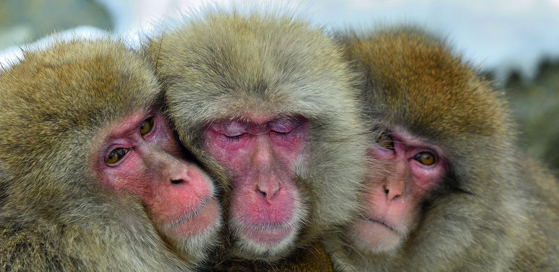 Японские макаки. Это один из видов, для которого однополое сексуальное поведение обычно.