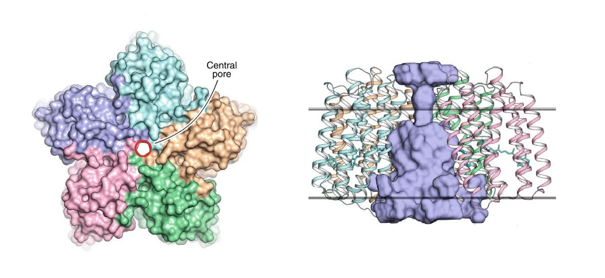 Слева: вид пентамера вирусного родопсина OLPVRII со стороны цитоплазмы. Центральная пора обозначена красным контуром. Справа: вертикальный разрез OLPVRII, вид сбоку. Профиль центральной поры показан голубой поверхностью. Серые линии обозначают положения гидрофобно/гидрофильных границ липидной мембраны.
