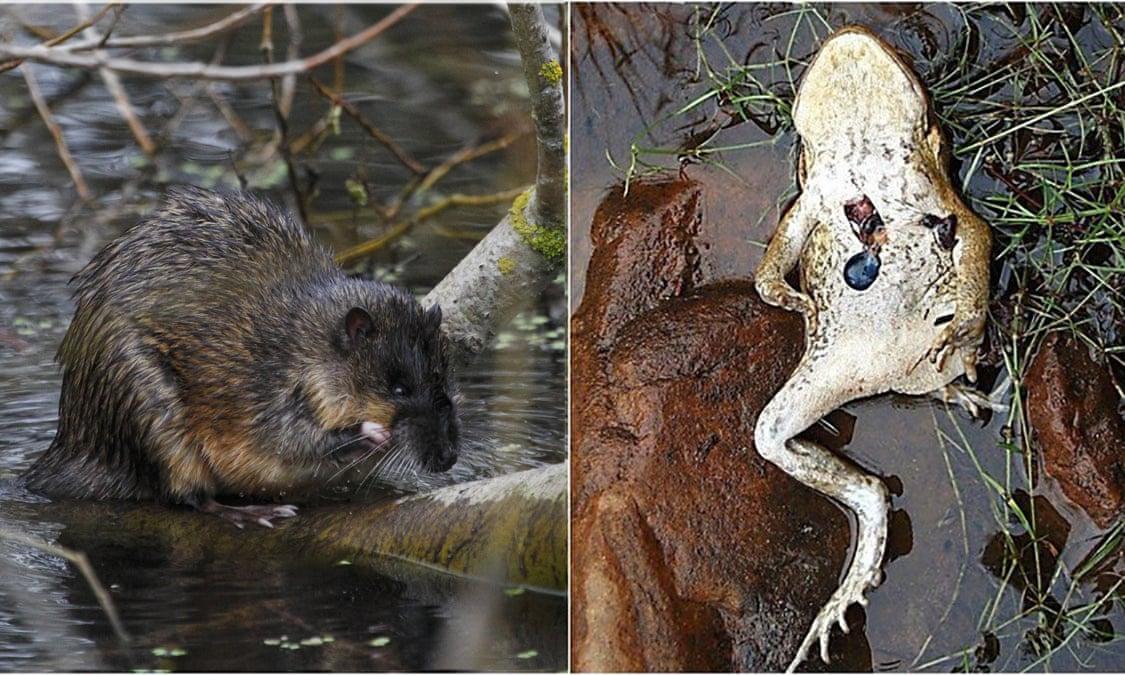 Златобрюхая бобровая крыса ивскрытая крысой жаба-ага.