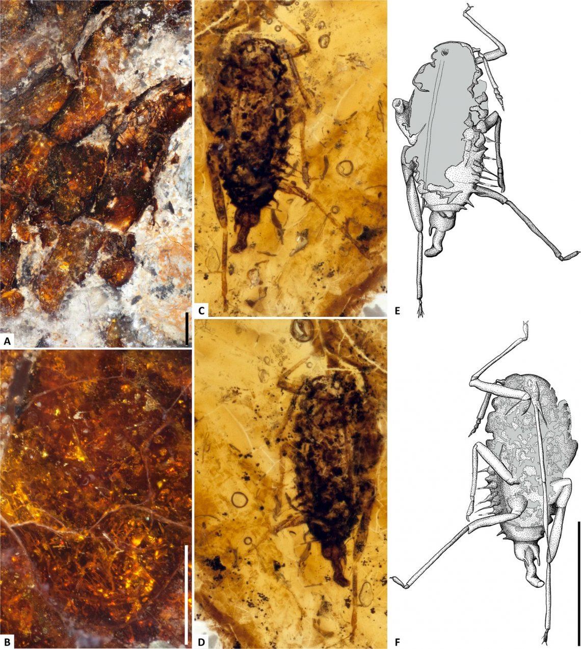 Заключённое вянтаре насекомое явно принадлежит кнадсемейству тлей (Aphidoidea) ипо всем релевантным для определения критериям соответствует Cretamyzidae, вымершему монотипическому семейству тлей, ранее обнаруженных внесколько более старом янтаре, найденном врайоне Гресси Лейк, Альберта
