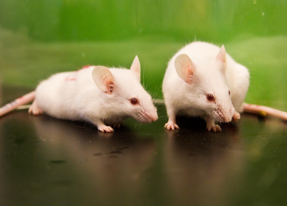 Лактобактерии могут отчасти защитить печень от воздействия алкоголя. Мышиную. Счеловеческой пока непонятно.