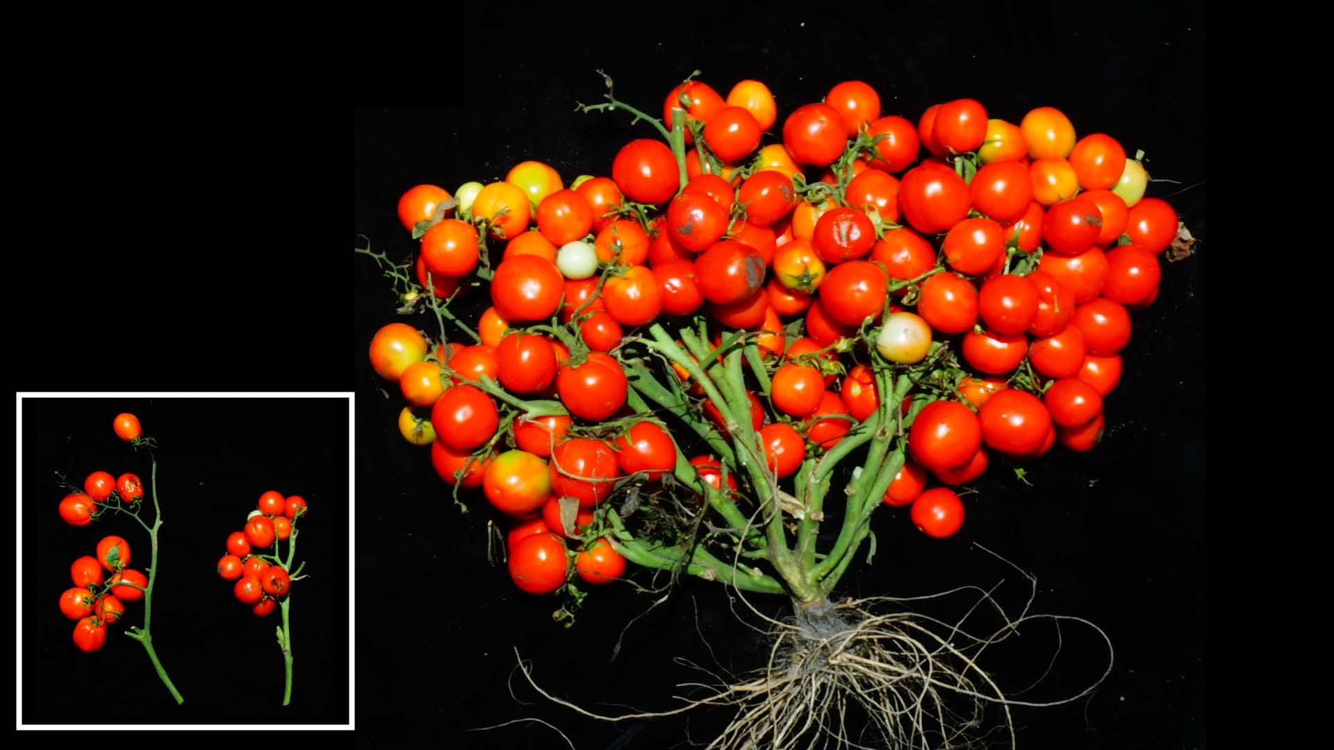 ГМО-томат. Можно выращивать дома или накосмической станции.