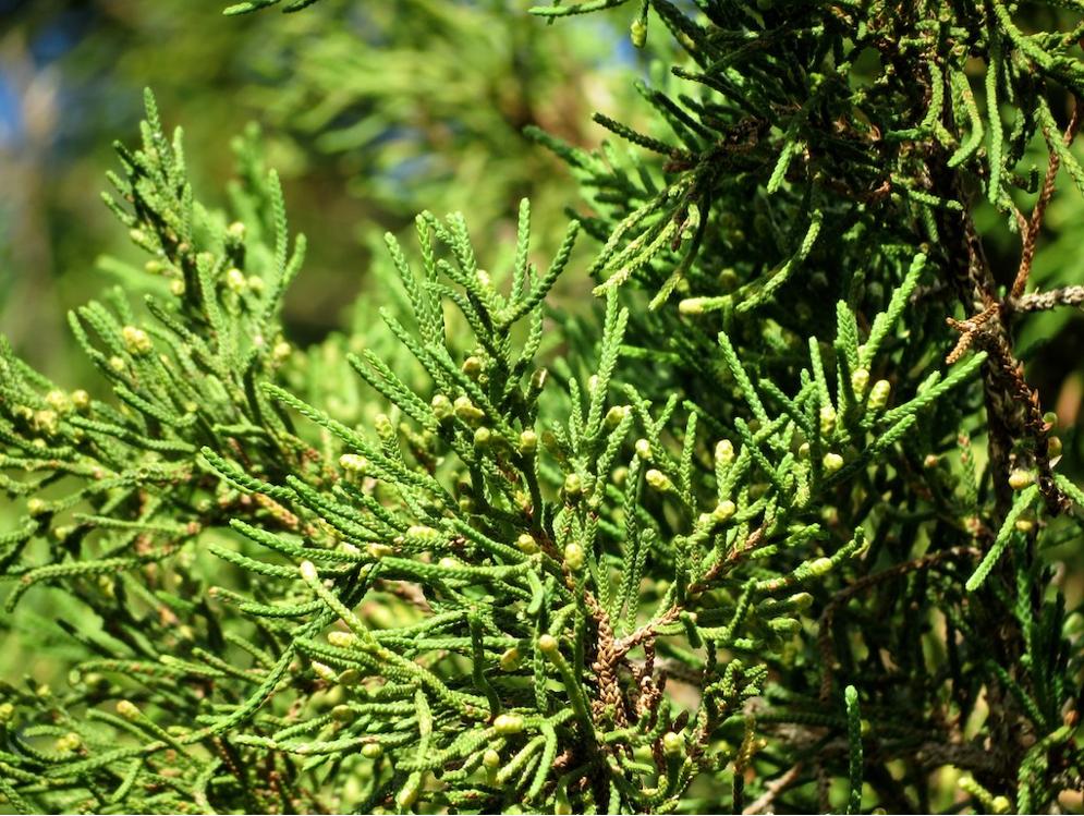Бермудскому можжевельнику (<i>Juniperus bermudiana</i>) грозит вымирание. Аведь этот вид жизненно важен для экосистемы, вкоторой он произрастает. Сейчас непривычная среда выталкивает его сБермудских островов. Вероятно, долго ждать его исчезновения вестественной среде обитания непридётся. Изображение Малкольма Мэннерса (Malcolm Manners)— <i>Wikimedia Commons</i> (CC BY 2.0).