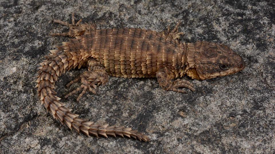 Живущая вАнголе высокогорная ящерица. Описана чемпионом по описанию рептилий— профессором Аароном Бауэром.