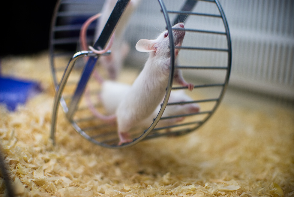 Мышка вколесе.