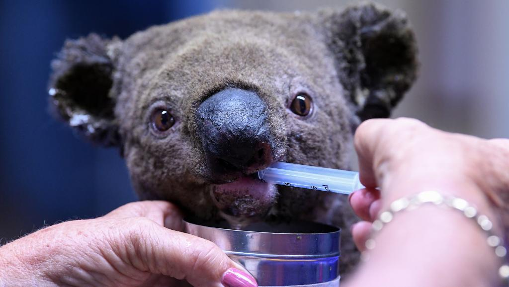 "Пострадавшую коалу поят из шприца. <a href=""https://www.nytimes.com/2019/11/25/world/australia/koala-fires-functionally-extinct.html"" rel=""noopener"" target=""_blank"">Источник</a>."