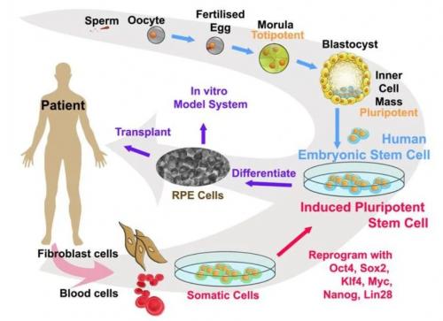 Рис. 10. По мере развития эмбриона стволовость его клеток снижается. Настадии морулы клетки тотипотентны, то есть могут превратиться влюбую клетку организма, ана стадии бластоцисты— плюрипотентны. iPSC по своим характеристикам стволовости соответствуют именно таким клеткам