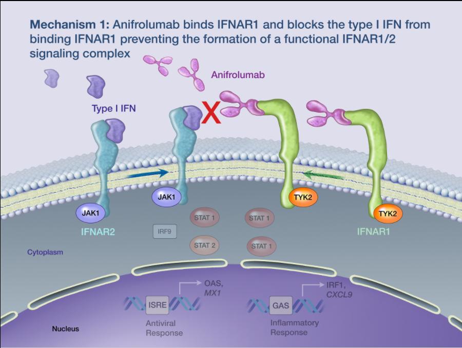 Рис. 9. Механизм действия anifrolumab. Антитело связывается срецептором IFNAR1 иблокирует его взаимодействие сIFNAR2, которое необходимо для активации внутриклеточных сигнальных путей, приводящих кэкспрессии генов, отвечающих за воспаление