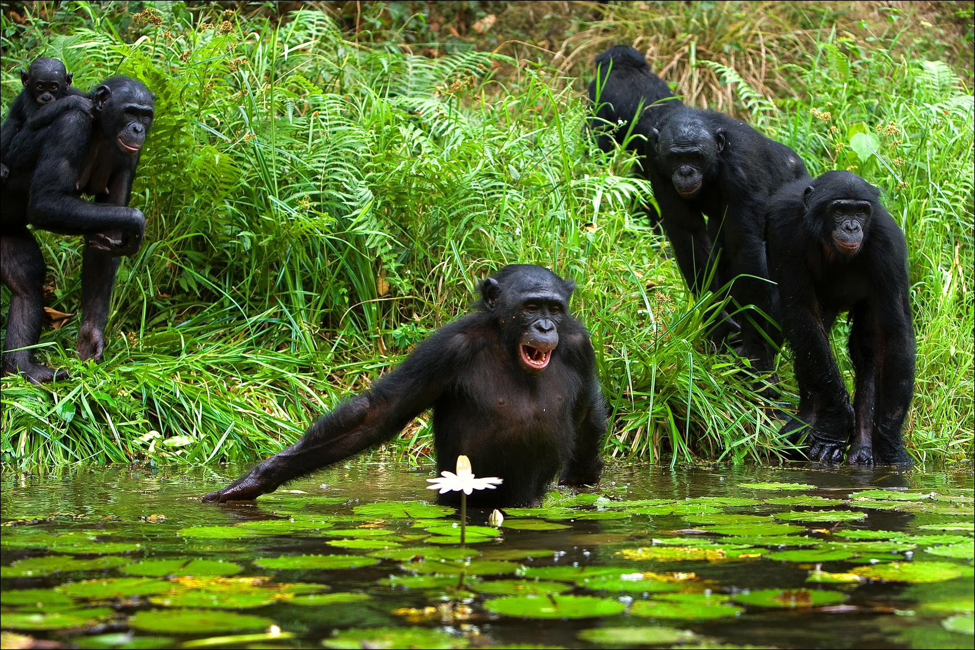 Разделение видов бонобо ишимпанзе произошло относительно недавно— 1,5—2,5млн лет назад. Образовавшееся тогда русло реки Конго создало барьер между группами обезьян, оказавшимися наразных берегах, ис тех пор они эволюционировали независимо. Тем неменее, в2016 году генетики обнаружили вгеномах шимпанзе следы скрещивания сбонобо, происходившего несколько сотен тысяч лет назад. По-видимому, хотя шимпанзе боятся воды, река неявлялась для них непреодолимым препятствием.