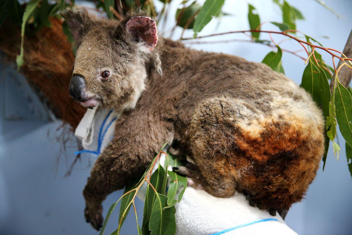 Эта коала получила ожоги врезультате лесных пожаров.