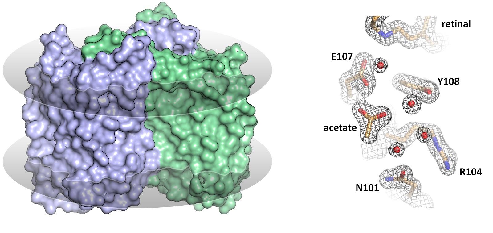 В МФТИ расшифровали структуру «перевёрнутого» родопсина