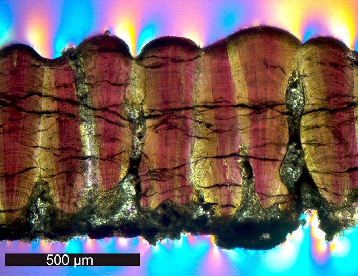 Окаменелости яичной скорлупы динозавра впоперечном сечении под микроскопом сиспользованием кросс-поляризованного света.