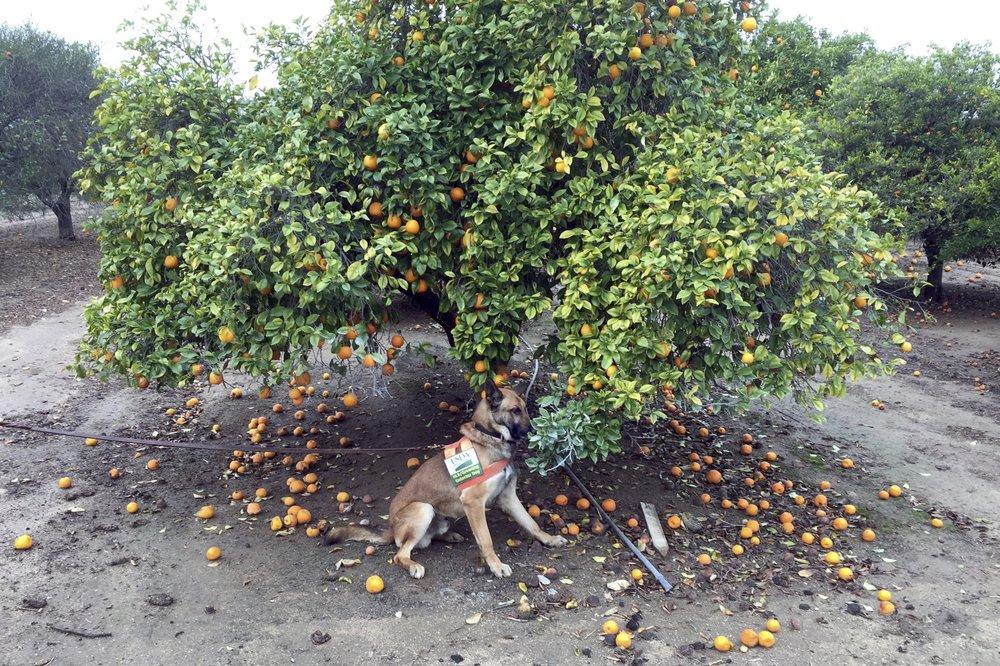 Обученная собака за работой— ищет деревья, поражённые позеленением цитрусовых.