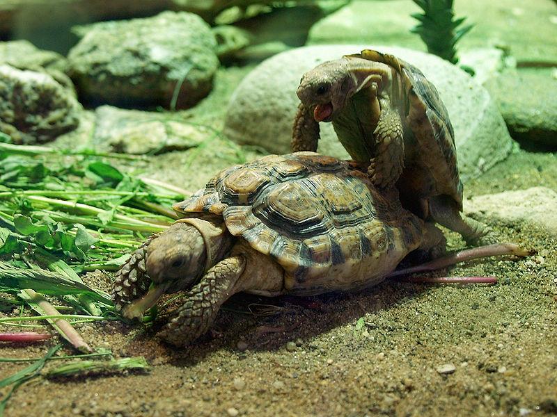 Спаривание капских крапчатых черепах вПражском зоопарке