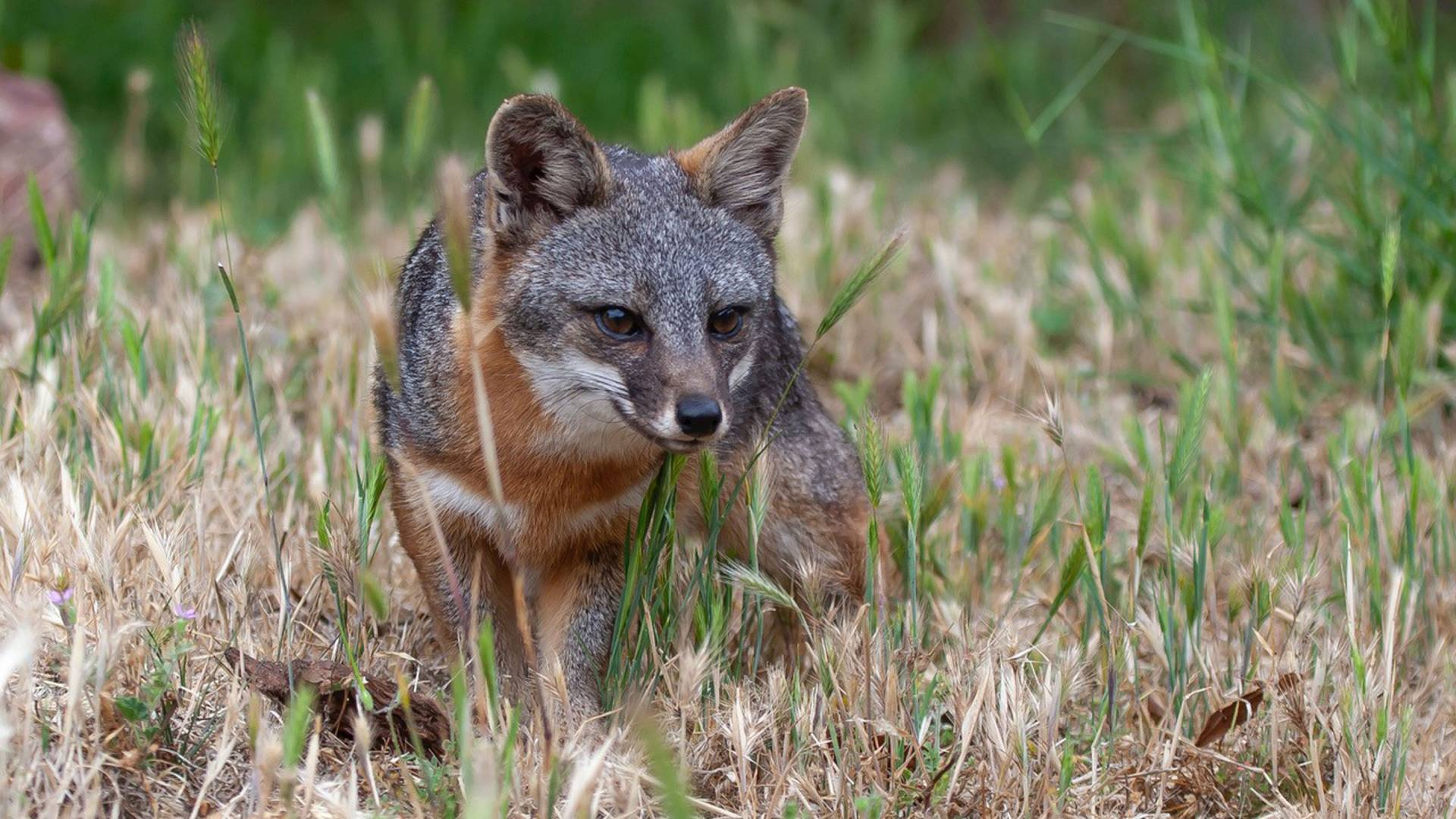 Островная лисица— эндемик островов Чаннел.