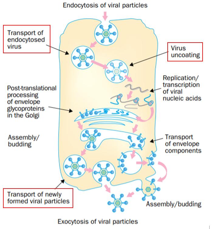 Рисунок 2. Стадии репликации различных вирусов