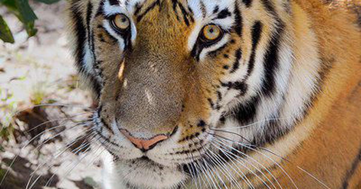 Тигрица Надя.