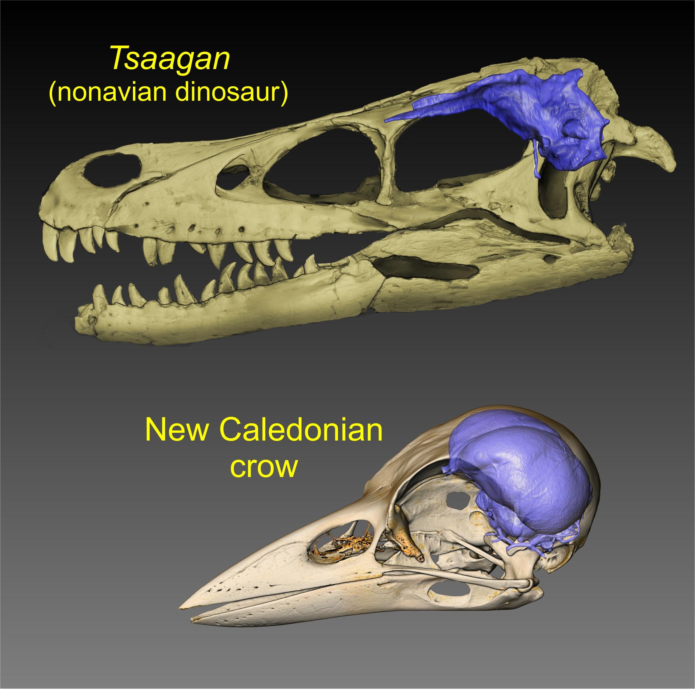 Мел-палеогеновое вымирание стало отправной точкой эволюции птичьего мозга, каким мы его знаем.